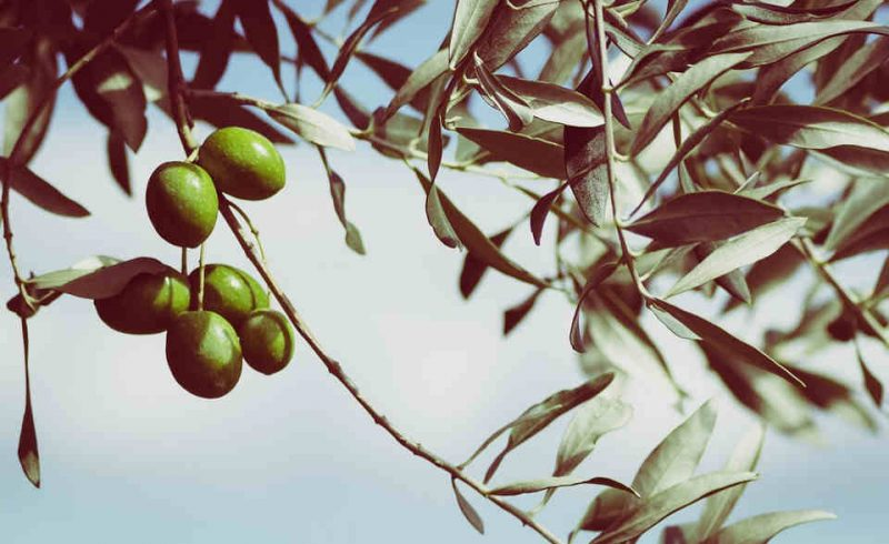 Comprar Hueso de Aceituna Montilla - Calor Renove